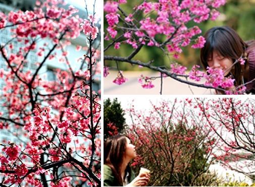 左圖為學生活動中心外的櫻花,好似為迎賓氣氛點綴。(圖邱湘媛攝)右上圖春意盎然,讓人忍不住興起拈花賞景之興致,圖為學生活動中心之櫻花。(圖陳振堂攝)右下圖圖為海事博物館之櫻花,盛開的初春花海令人驚豔。(圖涂嘉翔攝)
