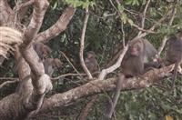 猴出沒!蘭陽原住民出動