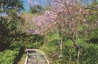 花樣蘭陽飄櫻香