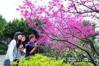 淡水校園的櫻花燦爛綻放,不少師生、遊客紛紛駐足欣賞,並拿起相機拍照,抓住美麗瞬間。(圖�  嘉翔)