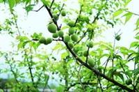 「梅園」中,去年才種的梅樹,今年已經結實纍纍了。