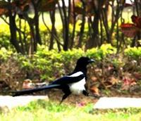 喜鵲是自古以來深受人們喜愛的鳥類,傳說能報喜,是好運與福氣的象徵。在淡水校園福園後方的草坪、書卷廣場四周的綠地及文學館前的行人徒步區,都可以見到它可愛的蹤跡。看!這隻喜鵲,在淡江校園自信的邁開大步向前走呢!