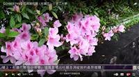 杜鵑綻放迎東風 三月錦簇綴淡江 賽博頻道帶您先睹為快