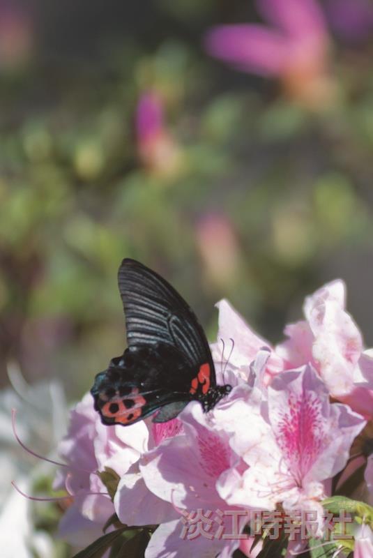 中華民國精彩一百 淡江大學繽紛六十  作品「花蝶之春」