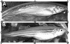 斑馬魚是一種淡水熱帶魚,公魚體表略呈橘黃色(A),母魚的腹部則較為飽滿(B)。授精後的胚胎為透明狀。(陳曜鴻/圖片及資料提供)