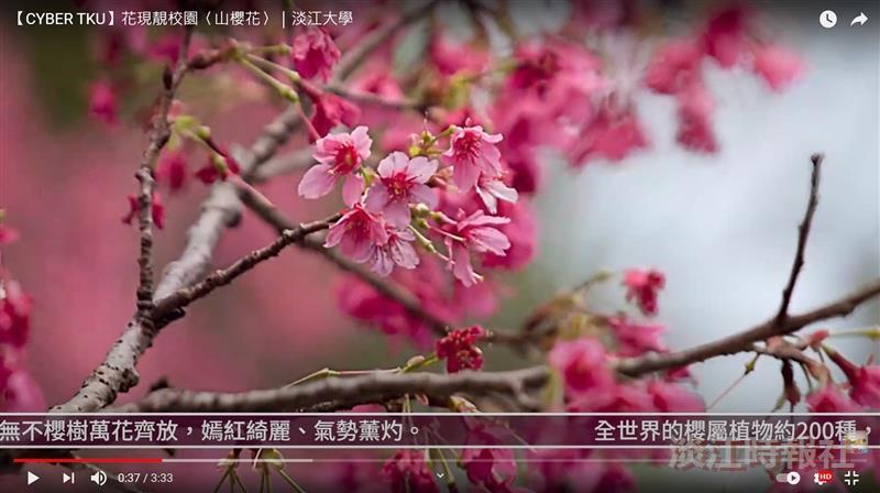 早春林梢的緋色紅暈  賽博頻道邀您共賞山櫻花之美